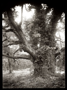 From Grounded -Live Oak II, 300 dpi