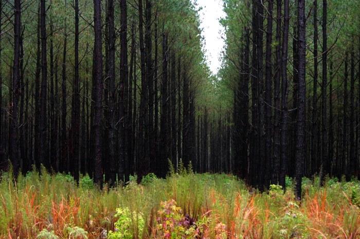 JoAnn_Sieburg-Baker_Pine_Tree_Cathedral